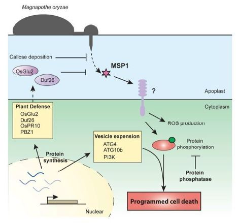 Magnaporthe oryzae-Secreted Protein MSP1 Induces Cell Death and Elicits Defense Responses in Rice | Rice Blast | Scoop.it