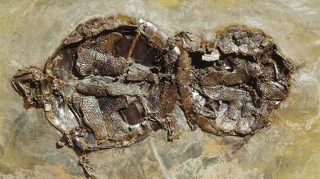 Des tortues figées en plein coït depuis 47 millions d'années | Merveilles - Marvels | Scoop.it