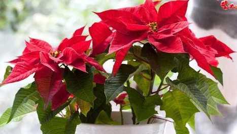 Vianočná ruža: Vypestujte si tradičný symbol Vianoc v kvetináči! | domov.kormidlo.sk | Scoop.it