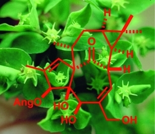 Diterpenes from European Euphorbia Species Serving as Prototypes for Natural-Product-Based Drug Discovery | Euphorbia's chemistry and perspectives | Scoop.it