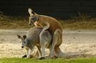 Animal Sex: How Kangaroos Do It | Politically Incorrect | Scoop.it