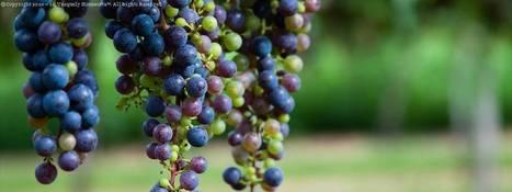 Putihkan Kulit Dengan Minyak Biji Anggur? | Kesihatan | Scoop.it