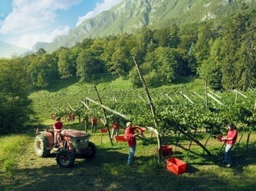 Ferrari moving to higher vines as climate change effects felt | Vitabella Wine Daily Gossip | Scoop.it