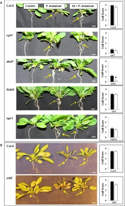 Analysis of salicylic acid-dependent pathways in Arabidopsis thaliana following infection with Plasmodiophora brassicae and the influence of salicylic acid on disease - Lovelock - 2016 - Molecular ... | Emerging Research in Plant Cell Biology | Scoop.it