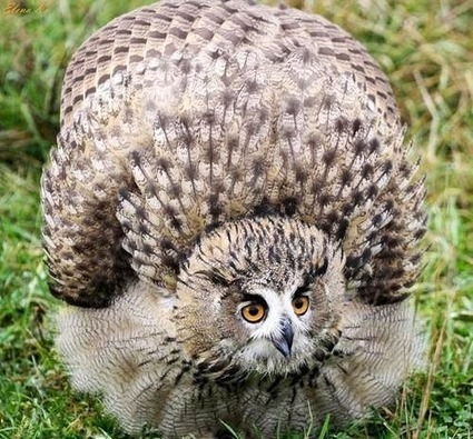 Blimey, what an angry owl!! | Interesting Photos | Scoop.it