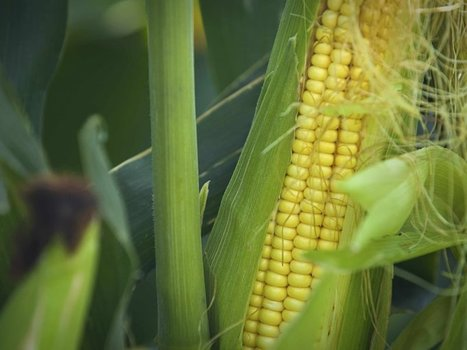 The Danger Of GMOs: Is It All In Your Mind? | FCHS AP HUMAN GEOGRAPHY | Scoop.it