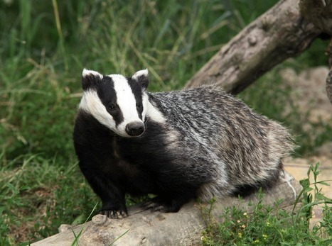 An Indian perspective on Cameron's ill-conceived badger cull | Garry Rogers Nature Conservation News | Scoop.it