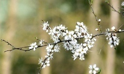 Senses stirred by blackthorn's snow | Nature Flash | Scoop.it