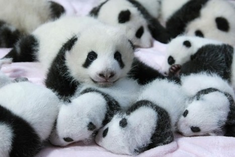 These Pictures Of Baby Pandas Will Melt Your Heart | LadyoftheZoos | Scoop.it