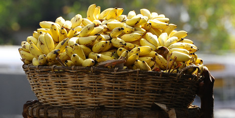 Police Fed Suspect 96 Bananas To Recover Stolen Gold Chain | Strange days indeed... | Scoop.it