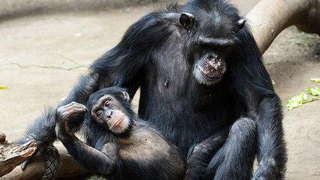 Como os chimpanzés lidam com a morte | Science, Technology and Society | Scoop.it