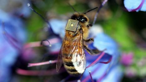 Scientists glue sensors to 5,000 bees in a bid to better understand them | Science! | Geek.com | Smart Cities | Scoop.it