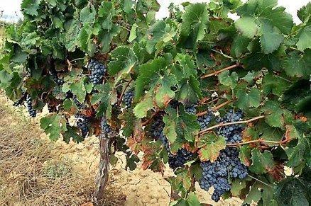 Languedoc Roussillon : Les cinq piliers de la s... | Domaine les Yeuses | Scoop.it