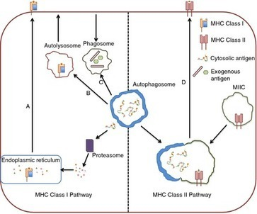 Autophagy in the immune system - Puleston - 2013 - Immunology - Wiley Online Library | Viruses and Bioinformatics from Virology.uvic.ca | Scoop.it