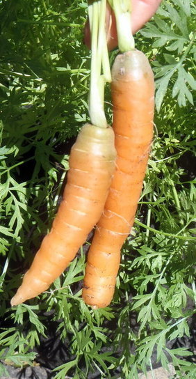 Container planting - How to grow carrots in a small space | Edible ... | Urban Farms | Scoop.it