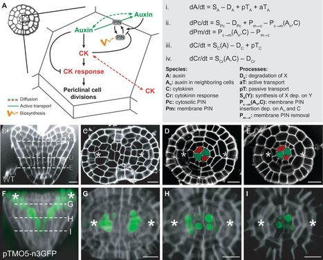Integration of growth and patterning during vascular tissue formation in Arabidopsis | MycorWeb Plant-Microbe Interactions | Scoop.it