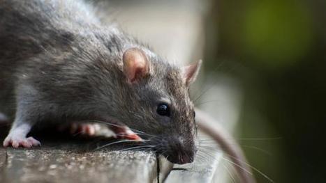 Un élève mordu par un rat dans la cour de l'école   Inter Nettoyage Service Bretagne   Scoop.it