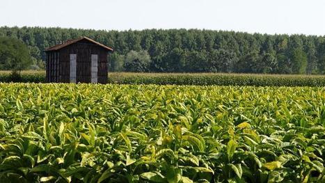 Les derniers planteurs de tabac français s'inquiètent de la politique du gouvernement - Le Figaro | Le Fil @gricole | Scoop.it