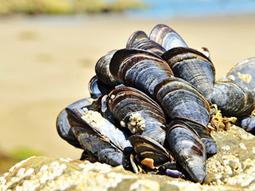 Underwater self-healing polymer mimics biological self-repair of mussels | Amazing Science | Scoop.it
