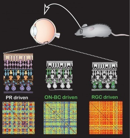 Photoswitch therapy restores vision to blind lab animals | Longevity science | Scoop.it