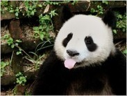 China swaps pandas for uranium in trade deals | Life on Earth | Scoop.it