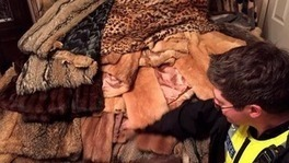 eBay trader caught selling coats made of tiger and otter fur | Biodiversity | Scoop.it