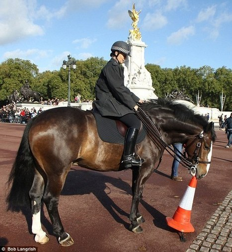 The cone arranger: How Merlin the Met Police horse likes to entertain the crowds at Buckingham Palace by neatly moving bollards   Horse and Rider Awareness   Scoop.it
