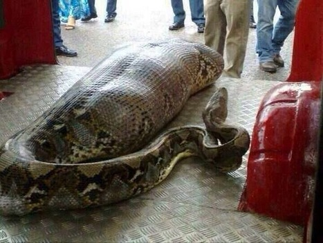 Python eats drunk man in India   What's up, World ?   Scoop.it