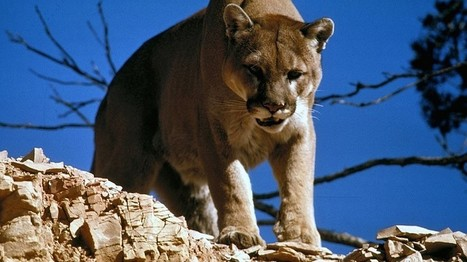 Newsela | Kansas and Missouri: Where the mountain lion sleeps tonight | Article of the Week | Scoop.it