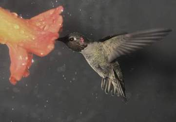 Nature News Blog: Hummingbirds don't mind the rain : Nature News Blog | Pollinators: a plant focus, for backyards | Scoop.it