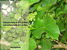 Medicinal property, phytochemistry and pharmacology of several Jatropha species (Euphorbiaceae): A review | Euphorbia's chemistry and perspectives | Scoop.it
