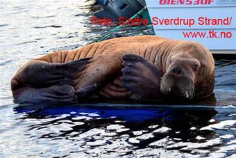 Walrus shot in Dalabukta near Kristiansund, Norway   Indigo Scuba   Scoop.it