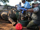 South African rhino endures, 1 year after horrific attack | Save our Rhino and all animals...this is what it looks like!!!!! | Scoop.it