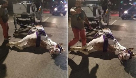 Driver 'Screams' At Exhausted Carriage Horse Until He Collapses | Nature Animals humankind | Scoop.it