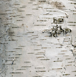 Birch helps wounds heals faster   Health, Nutrition and Fitness   Scoop.it