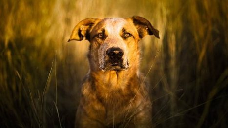 Stop coddling your dog—he's 99.9% wolf - Quartz | The Dog Blogger | Scoop.it
