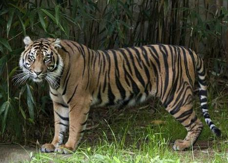 The future of the tiger hinges on gene flow | OUR CUDDEDLY WILD CATS... | Scoop.it