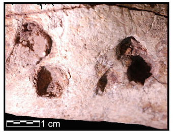 Marks on 3.4-million-year-old bones not due to trampling, analysis confirms | The Archaeology News Network | Kiosque du monde : Afrique | Scoop.it