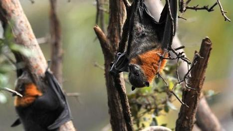 Flying fox plans coming home to roost | NSW National Parks | Scoop.it