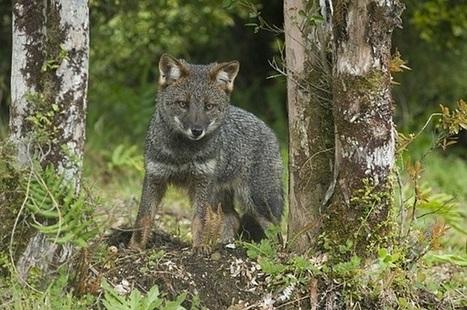 Fact Attack: Endangered Species No. 104 - Darwin's Fox   GarryRogers NatCon News   Scoop.it