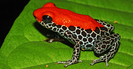 Frogs Are Really Cool. Too Bad Humans Are Killing Them All | My likes | Scoop.it