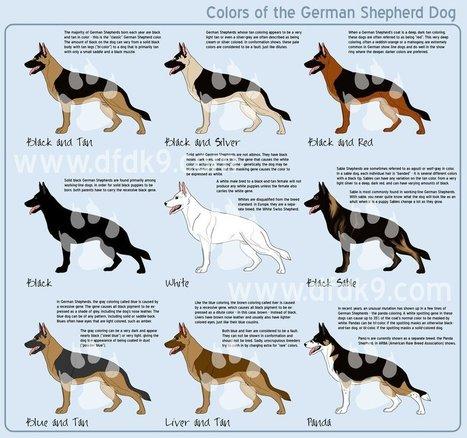german_shepherd_colors_by_lenir-d4rzq0v.png (923x865 pixels) | Cinófilia | Scoop.it