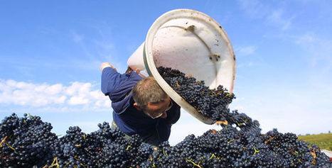 Vendange : La prévision de récolte 2014 légèrement revue à la baisse | Le vin quotidien | Scoop.it