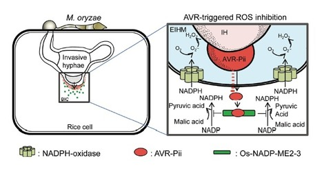 Magnaporthe oryzae Effector AVR-Pii Helps to Establish Compatibility by Inhibition of the Rice NADP-Malic Enzyme Resulting in Disruption of Oxidative Burst and Host Innate Immunity | Rice Blast | Scoop.it