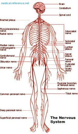 How does the Nervous system work? | Anatomy | Scoop.it