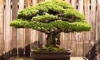 Meet the 388-year-old bonsai that survived the Hiroshima blast ... | Bonsai | Scoop.it