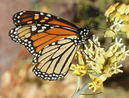 Arizona Gardeners: Attracting butterflies to a desert garden | CALS in the News | Scoop.it