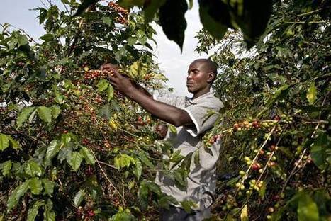 In Uganda, Coffee Farmers Who Depart From Government Guidelines Risk Arrest | Coffee News | Scoop.it