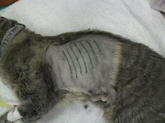 Traumatologia y Cirugia Ortopedica Veterinaria: CAT PLEURAL ... | publicaciones veterinarias | Scoop.it
