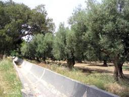Kabylie. La récolte oléicole compromise ? | EntomoNews | Scoop.it